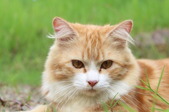 bílozrzavá kočka