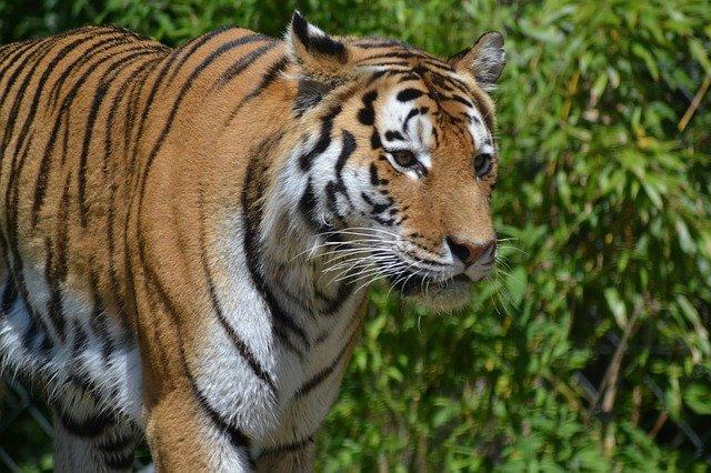 klidný tygr