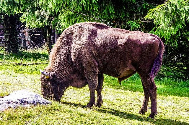 bizon na pastvě
